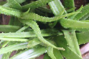 צמח האלוורה
